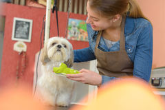 Dog and groomer. The dog and the groomer royalty free stock images
