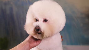 Dog Groomer makes a hairstyle of Bichon Frise stock video footage