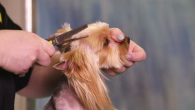 Dog Groomer makes a hairstyle of Yorkshire terrier stock video footage