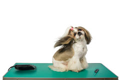 Dog at the groomer's table with winded hair. Beautiful shih-tzu dog at the groomer table with comb and razor with wind in it's hair - isolated on white Stock Photography
