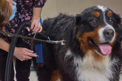Dog groomer with tools working. Stock Photo
