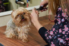 Dog groomer using nail clippers. Stock Image