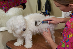 Dog groomer using undercoat rake. royalty free stock image