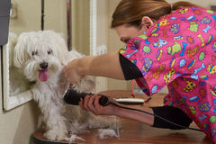 Dog groomer and white maltese. Cute animal getting haircut Stock Photography