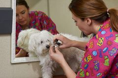 Dog groomer working, nail clippers. White maltese in grooming salon stock photo
