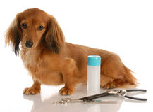 Dog grooming. Miniature long haired dachshund sitting beside grooming supplies stock photos