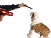 Dog grooming. Hands brushing nine week old english bulldog stock photography