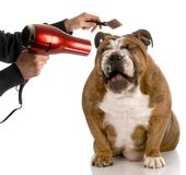 Dog grooming. Dog getting groomed - english bulldog laughing while being brushed stock images