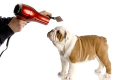 Dog grooming. Hands brushing nine week old english bulldog stock photos