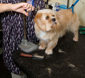Dog Grooming. Dog on a grooming table getting a hair cut royalty free stock photography