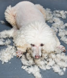 Dog grooming. Poodle dog between grooming with its hair stock photos