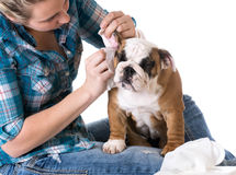 Dog grooming. Bulldog getting ears cleaned by woman Stock Photo