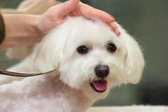 Dog grooming close up. Face of white maltese Stock Photos