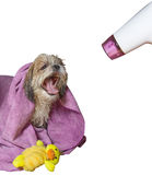 Dog grooming after dried hairdryer stock photo