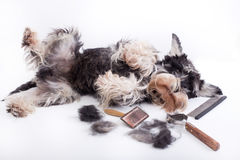 Dog with grooming equipment. Cute miniature schnauzer lying beside grooming and trimming equipment with his hair on table stock photography