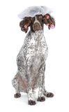 Dog grooming. German shorthaired pointer at the beauty salon isolated on white background royalty free stock photos
