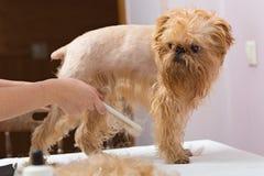 Dog grooming Royalty Free Stock Image