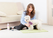 Dog grooming at home Royalty Free Stock Image