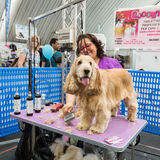 Dog grooming at Quattrozampeinfiera in Milan, Italy. MILAN, ITALY - JUNE 12: Dog grooming at Quattrozampeinfiera, event and activities dedicated to dogs, cats royalty free stock photos