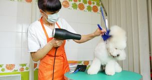 Dog grooming in salon. Professional dog groomer. Beautiful young woman making hairstyle for dog.  stock video