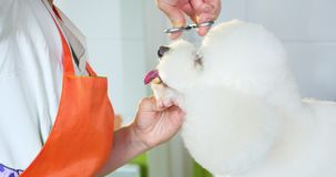Dog grooming in salon. Professional dog groomer. Beautiful young woman making hairstyle for dog.  stock footage