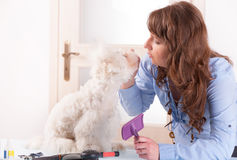 Dog grooming. Smiling woman grooming a dog purebreed maltese Stock Image