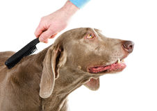 Dog grooming. On white background royalty free stock images