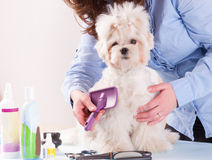 Dog grooming. Woman grooming a dog purebreed maltese Stock Images