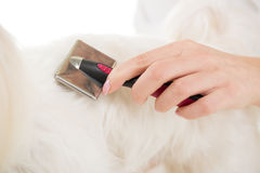 Dog Grooming. Woman's hand grooming maltese dog. Close-up Stock Photography