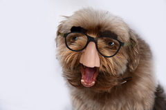 Dog with groucho marx glasses Stock Images