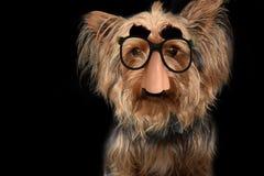 Dog with groucho marx glasses Royalty Free Stock Photo