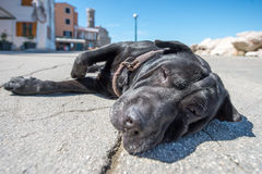 Dog on a ground. Black dog lying down in a middle of a road with eyes partially closed Stock Photos
