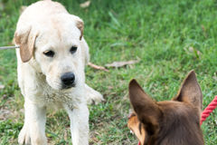 Dog Growls at Puppy Who Looks SCared. A Kelpie dog growls and bares his teeth at a Labrador Retriever puppy, who looks scared Stock Photography