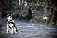 Dog on guard. Beautiful big Alaskan Malamute dog sitting outdoors and watching royalty free stock image