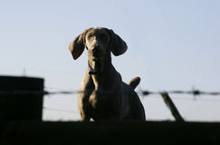 Dog on guard Royalty Free Stock Photo