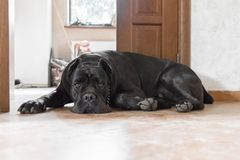 Dog guard near the doors. Menacing dog. A dog of a large breed. Domestic dog. Security guard at home. Dog for the protection of the house and territory. Cane royalty free stock images