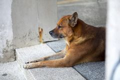 The dog of the guardian door. A dedicated dog, instinct alert at home Stock Photo