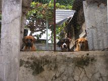 Dog guardians. Dogs are the most loyal friend to human. They guard the house against strangers royalty free stock photography