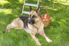 Dog is guarding apples in the garden Stock Images