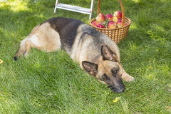 Dog is guarding apples in the garden Stock Photography
