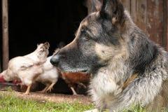 Dog Guarding Chicken Stock Image