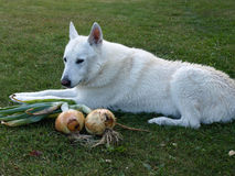 Dog guarding harvest. White husky dog guarding autumn harvest - big onions Stock Image