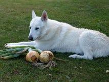 Dog guarding harvest Stock Image