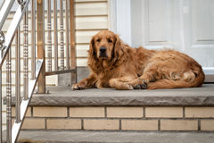 Dog guarding the house Stock Images
