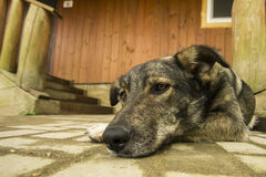 Dog guarding house near stairway Royalty Free Stock Image