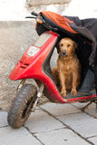 Dog guarding its master's motorbike Royalty Free Stock Photography