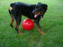 Dog Guarding over Big Ball. Young female rottweiler protecting her red boomer ball. She always either stands, sits, or lays on top of it so you have to struggle Stock Images