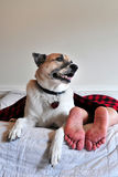 Dog guarding person on bed Stock Photos