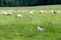 Dog guarding sheep Stock Photos
