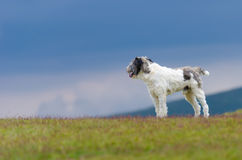 Dog guarding sheep Royalty Free Stock Images